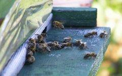 蜜蜂几月几号喂越冬糖(蜜蜂冬天什么时候喂糖)