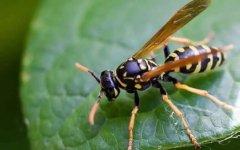 寻找野生马蜂的方法(用什么方法找马蜂)
