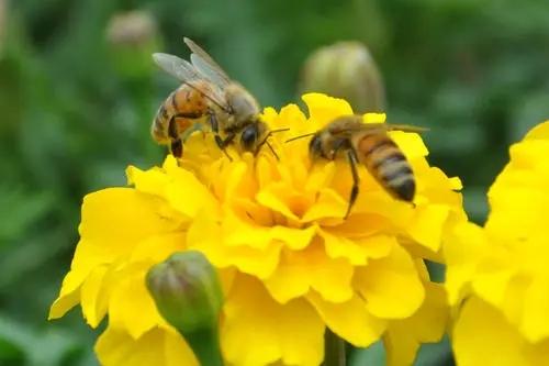 蜜蜂寓意和象征(蜜蜂的象征意义是什么)
