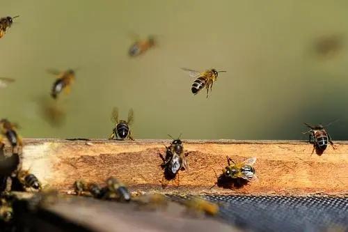 工蜂几天出房几天试飞(蜜蜂出房几天试飞)