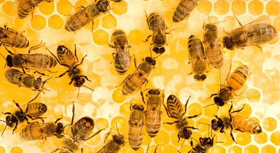蜜蜂吃土霉素的用量(土霉素治蜂病的用量)