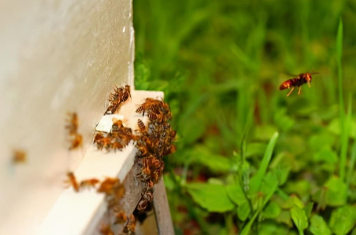 夏季养蜂如何消灭胡蜂(养蜂怎么防胡蜂)