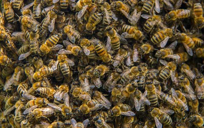 意大利蜂好养吗(意蜂和中蜂哪个更好养?)