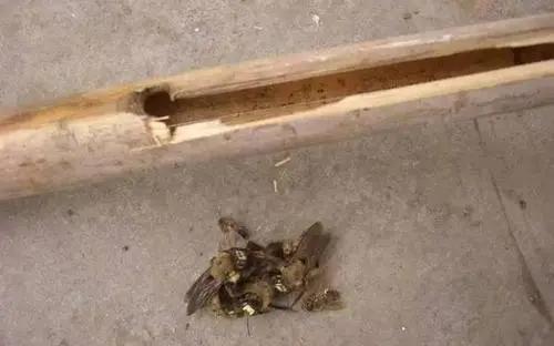 竹桶蜂怎么捉(引诱捕捉竹筒蜂的方法)