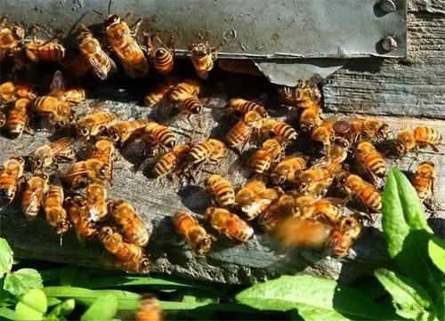 蜜蜂的盗性与什么有关(什么是盗蜂现象)