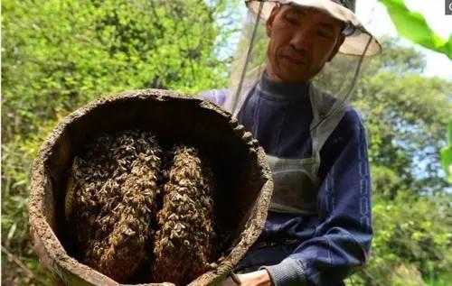 新买回来蜂蜜没有子脾的几天才稳定下来去采花粉