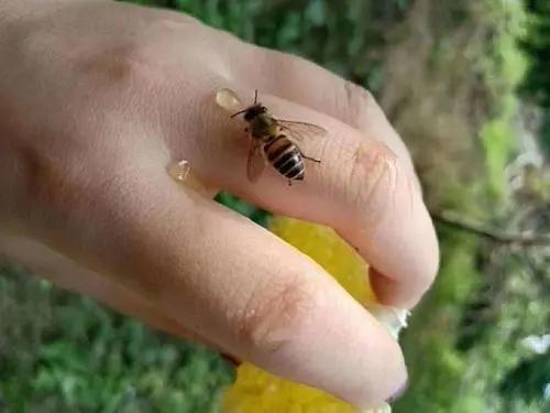 被蜜蜂蜇伤怎么办(蜜蜂蛰伤了怎么处理)