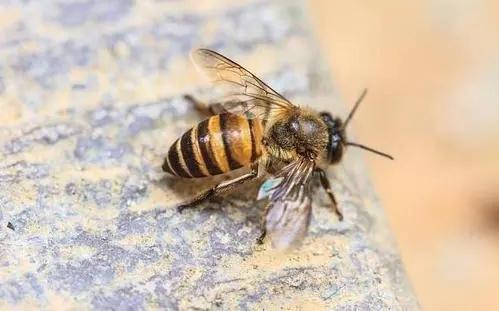 北一号中蜂品系价格(北京一号蜂种)