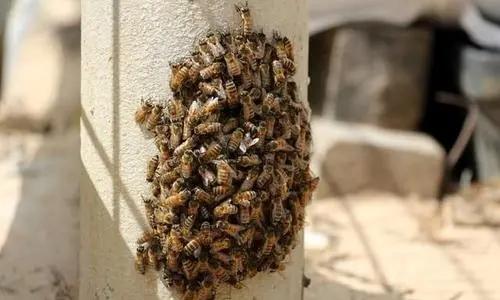 分蜂热是什么原因引起的(蜜蜂分蜂热有什么表现)
