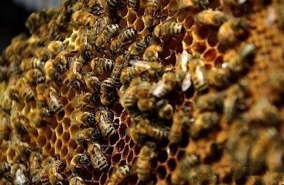 蜂数应该怎样计算(论斤、论脾还是论群)