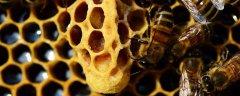 一箱中蜂一年最多分几箱(什么是中蜂)