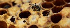 雄蜂出房后几天分蜂(不同蜂种不同方式)
