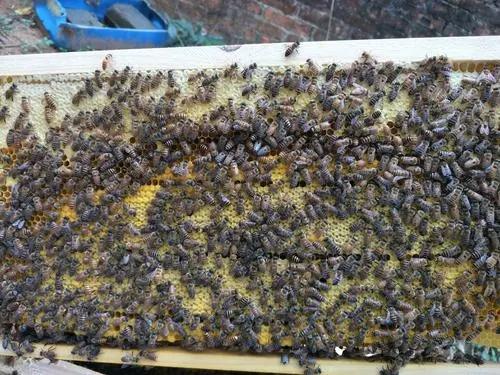 在蜂群中怎么找蜂王(蜂王一般在蜂群的什么位置)