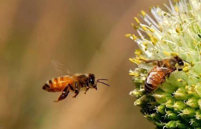 怎么给蜜蜂消毒(给蜜蜂消毒用什么药)