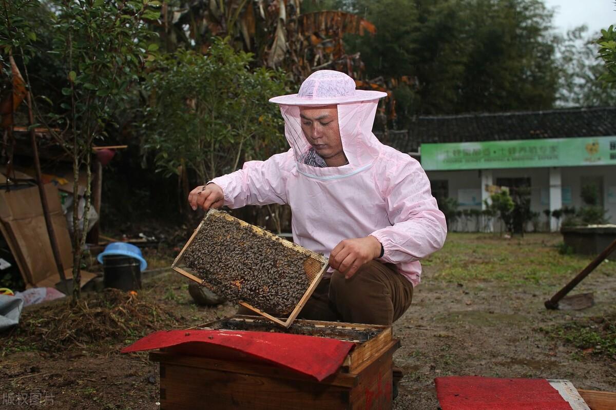 蜜蜂喂糖水什么时候喂好(蜜蜂喂蜂蜜要不要加水)