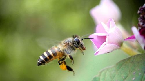 秋天有巢虫吗(蜜蜂怎样防止巢虫)