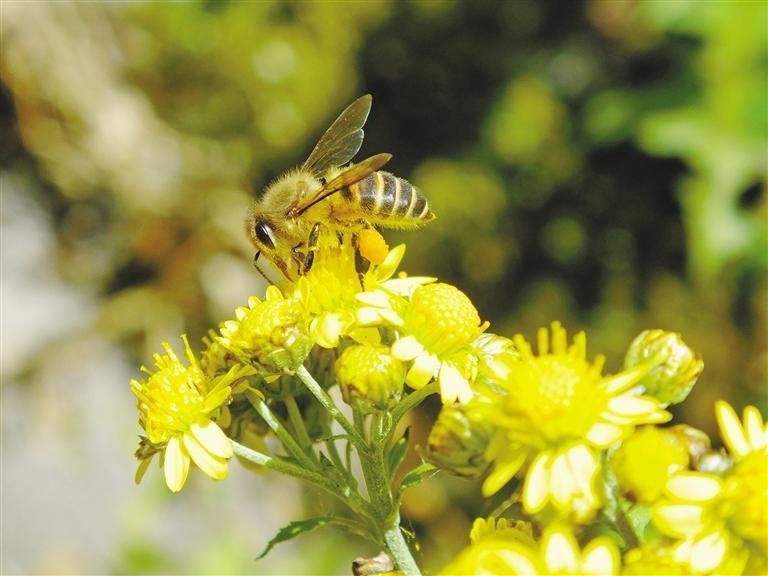 中蜂土养好还是活框养好(养土蜂要具备哪些条件)