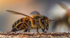 一个蜂巢里有多少工蜂(蜂巢有多少只蜜蜂)