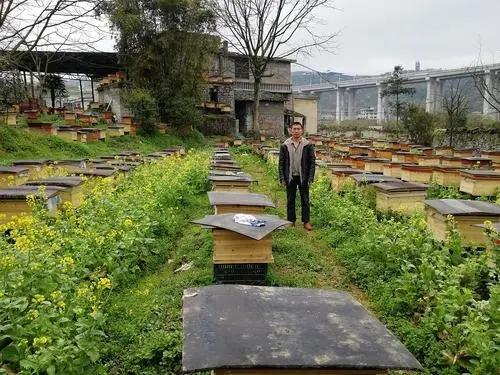 中蜂组双王群时一面蜂多一面蜂少