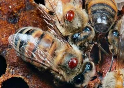 蜜蜂头上有白的是什么原因