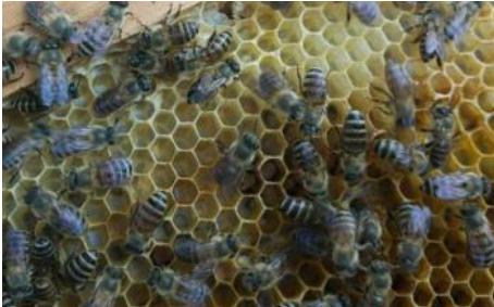 蜂群检查注意事项(怎么看的出来蜜蜂该分群了)