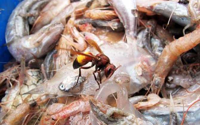 黄腰虎头蜂蛰了怎么处理(如何处理黄腰虎头蜂蛰过的伤口)