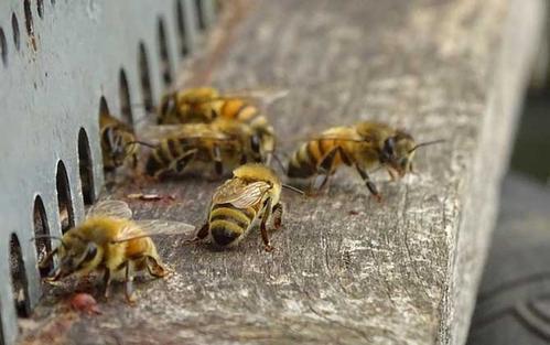 找不到蜂王怎么办(蜂王不见了,养蜂人还能怎么补救?)