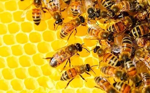 养蜂人饲喂蜂群的小技巧(如何喂养蜜蜂)