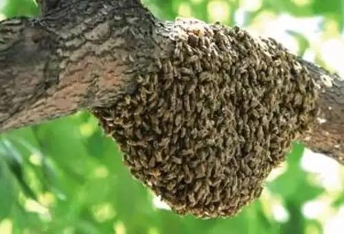 蛋群放在蜂箱可以吗(蛋群蜜蜂怎么养)