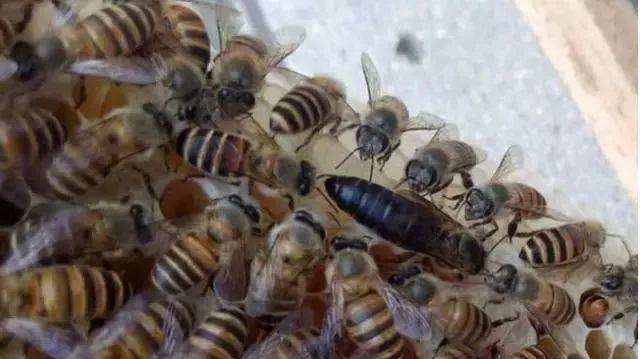 蜜蜂分窝出去的是老蜂王还是新蜂王呢(分蜂是老蜂王走还是新蜂王走)