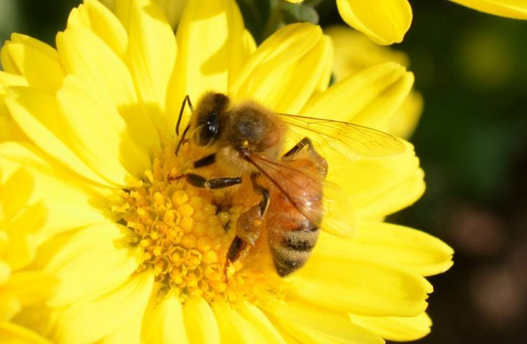 北方中蜂(北方中蜂品种)