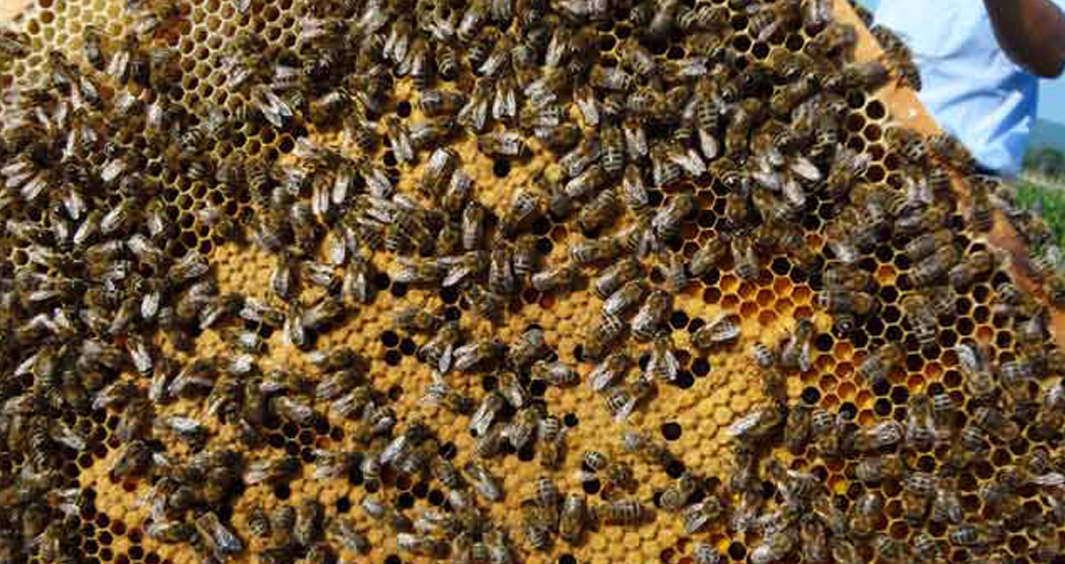 东北黑蜂王多少钱一只(东北黑蜂蜂群出售价格)