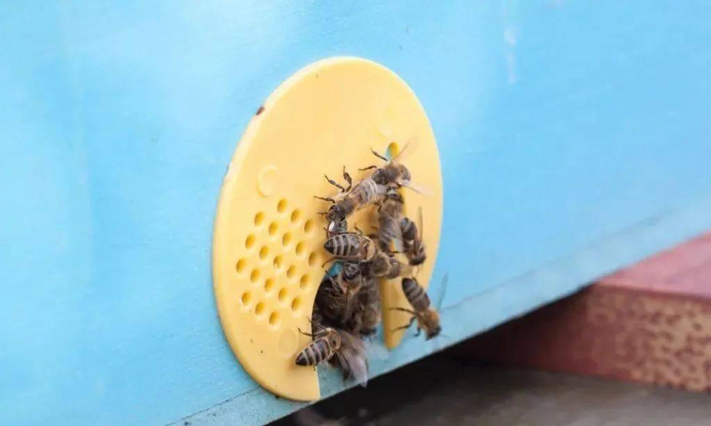 流蜜期如何管理蜂群(中蜂大流蜜期蜜蜂管理技术)