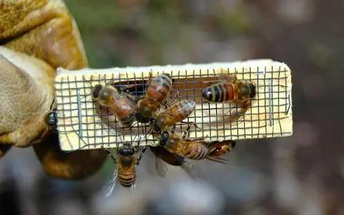 蜜蜂王的任务是什么(蜂王的职责是干什么的)