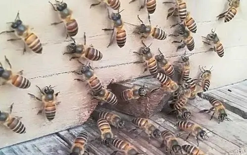 蜜蜂王的任务是什么