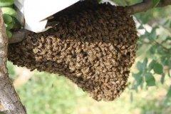 蜜蜂怎么分蜂种(蜜蜂怎样分蜂怎样分群)
