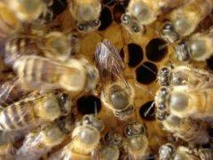 蜜蜂哪个是雌性(蜜蜂是雌性毒还是雄性多)