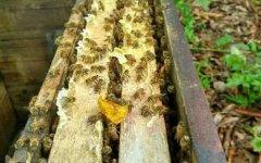 养蜂人怎么养蜜蜂(养蜂人怎么控制蜜蜂)