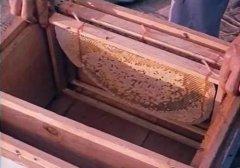 新手养蜂蜜蜂在箱上结脾怎样办(蜜蜂乱遭蜂脾怎么处理)