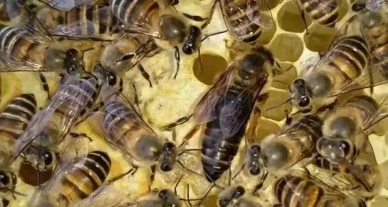 蜜蜂啥时候才可以育王(中蜂王的最佳育王时间)
