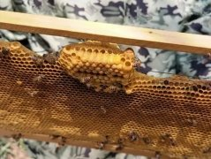 蜜蜂都是蜂王的后代吗(蜜蜂怎么产生后代)