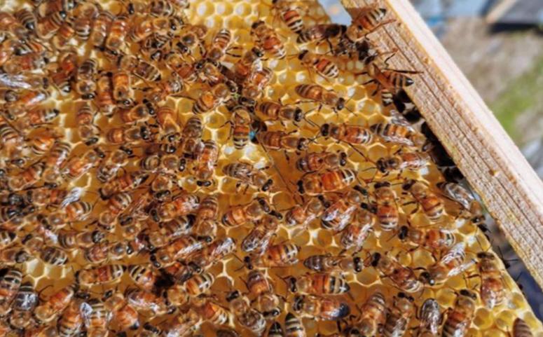 一只蜜蜂不吃东西能活多久(蜜蜂不吃东西多久会死)
