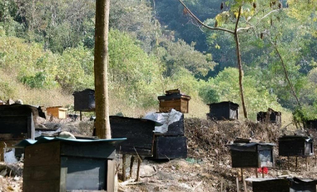 一个人最多能养多少箱蜜蜂(一个蜂场适宜养多少箱蜜蜂)