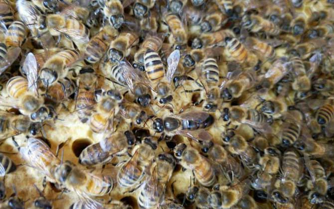 中蜂群数量最多能有多少(中蜂最大的蜂群能有多大)