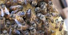 一个蜂箱需要多少蜂脾(蜜蜂一脾蜂友多少只)