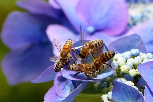 一只蜜蜂每天能采多少蜜(抓了一只蜜蜂怎么养)