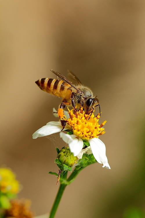 取走蜂蜜对蜜蜂有影响吗(蜂蜜被取走了蜜蜂会饿死吗?)