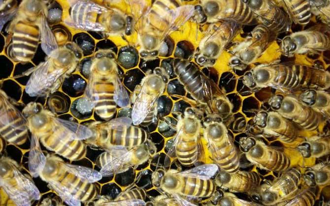 北方中蜂春繁时间表(中蜂春繁时间表及春繁技巧)