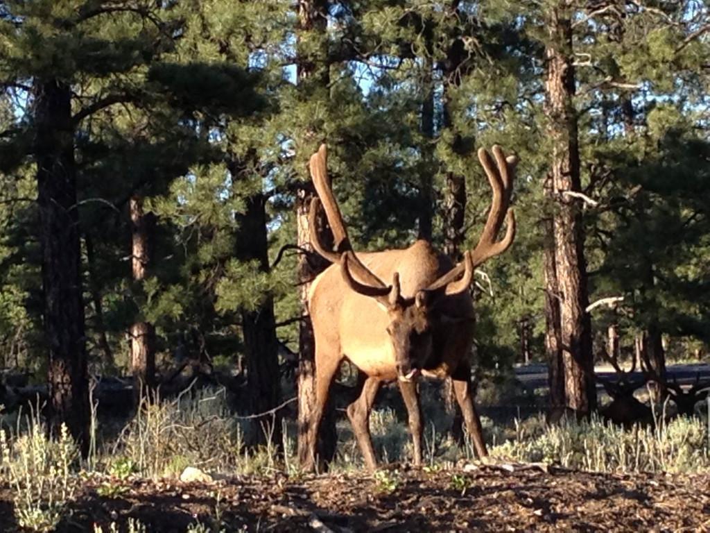 鹿角每年都会自然脱落,人类为何割鹿茸,而不是捡拾脱落的鹿角?
