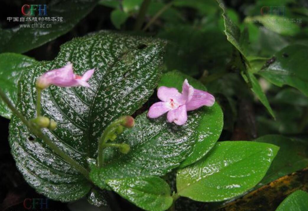 消失100多年!云南发现极危物种异叶苣苔,野生华南虎会出现吗?